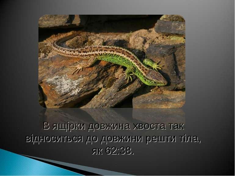 В ящірки довжина хвоста так відноситься до довжини решти тіла, як 62:38.