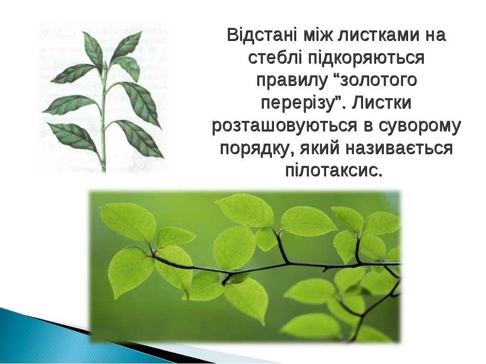 """Відстані між листками на стеблі підкоряються правилу """"золотого перерізу"""". Лис..."""