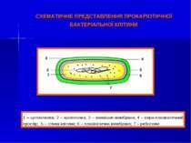 СХЕМАТИЧНЕ ПРЕДСТАВЛЕННЯ ПРОКАРІОТИЧНОЇ БАКТЕРІАЛЬНОЇ КЛІТИНИ 1 – цитоплазма;...