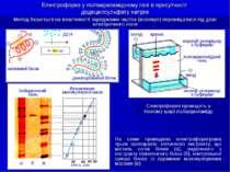 Електрофорез у поліакриламідному гелі в присутності додецилсульфату натрію Ме...