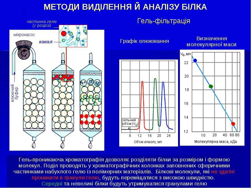 Гель-фільтрація Гель-проникаюча хроматографія дозволяє розділяти білки за роз...
