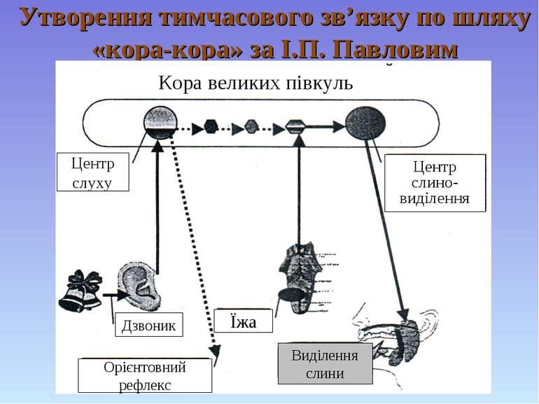 Утворення тимчасового зв'язку по шляху «кора-кора» за І.П. Павловим Кора вели...