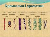 Хромосоми і хроматин