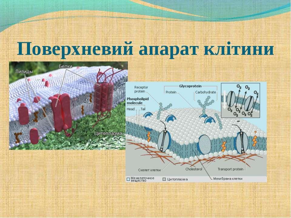 Поверхневий апарат клітини