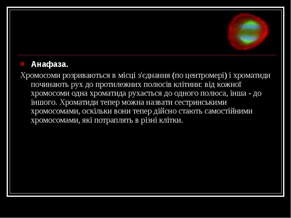 Анафаза. Хромосоми розриваються в місці з'єднання (по центромері) і хроматиди...