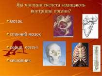 Які частини скелета захищають внутрішні органи? мозок спинний мозок серце, ле...