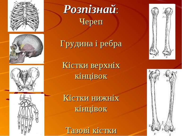 Розпізнай: Череп Грудина і ребра Кістки верхніх кінцівок Кістки нижніх кінців...