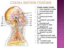 Схема нервів голови: 1 - гілки лицьового нерва; 2 - очноямковий нерв; 3 - вер...