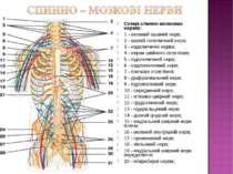 Схема спинно-мозкових нервів: 1 - великий вушний нерв; 2 - малий потиличний н...