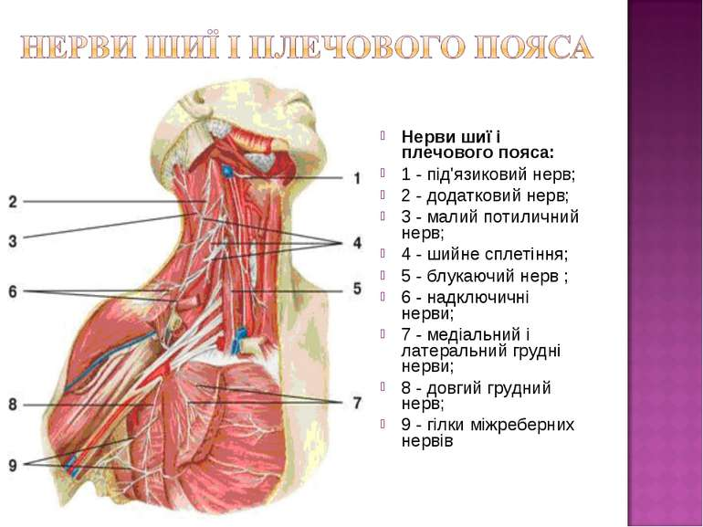 Нерви шиї і плечового пояса: 1 - під'язиковий нерв; 2 - додатковий нерв; 3 - ...