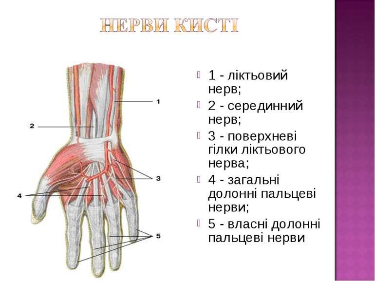 1 - ліктьовий нерв; 2 - серединний нерв; 3 - поверхневі гілки ліктьового нерв...