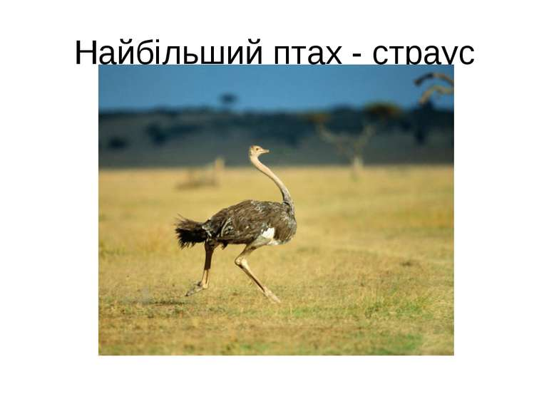 Найбільший птах - страус