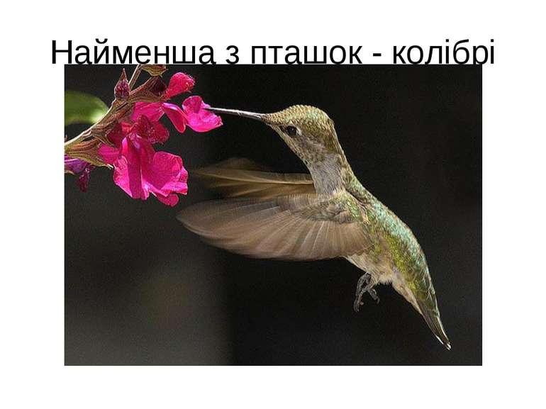 Найменша з пташок - колібрі