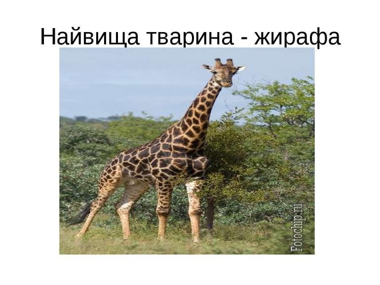 Найвища тварина - жирафа