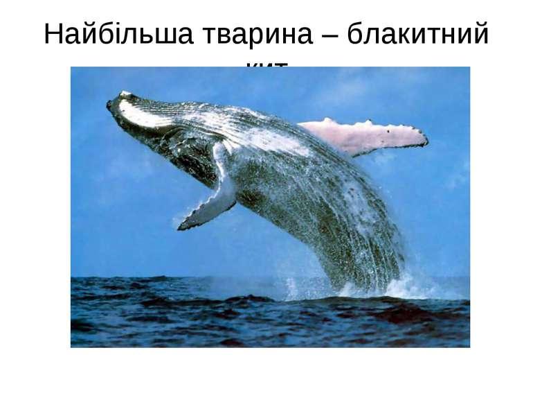 Найбільша тварина – блакитний кит