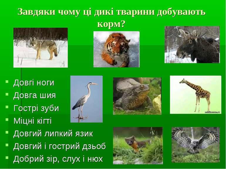 Завдяки чому ці дикі тварини добувають корм? Довгі ноги Довга шия Гострі зуби...