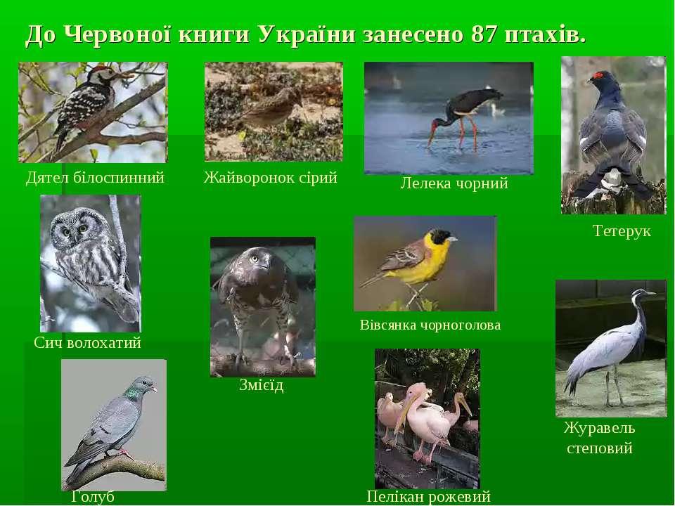 До Червоної книги України занесено 87 птахів. Голуб синяк Змієїд Вівсянка чор...