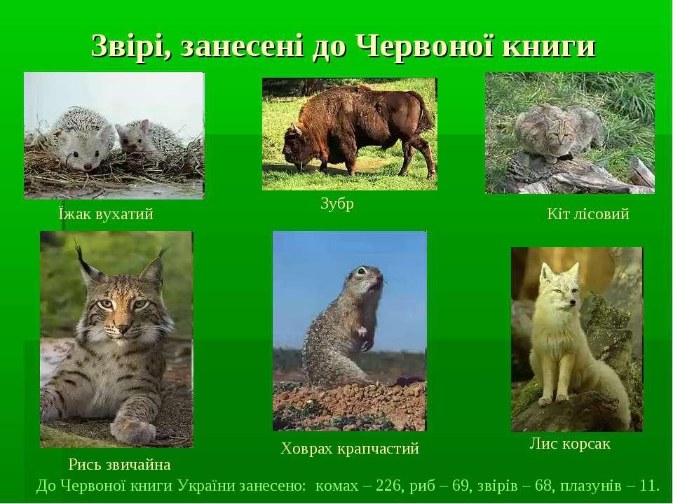 Звірі, занесені до Червоної книги Їжак вухатий Зубр Кіт лісовий Лис корсак Ри...