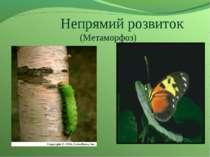Непрямий розвиток (Метаморфоз)