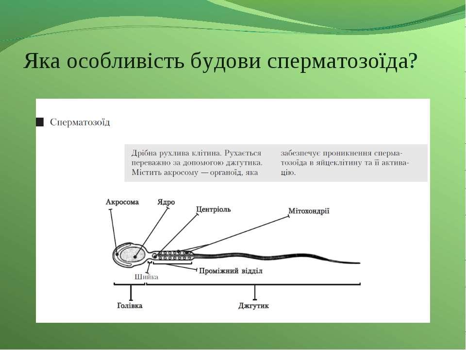 Яка особливість будови сперматозоїда?