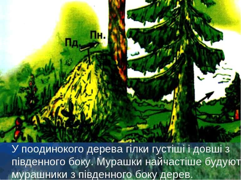 У поодинокого дерева гілки густіші і довші з південного боку. Мурашки найчаст...