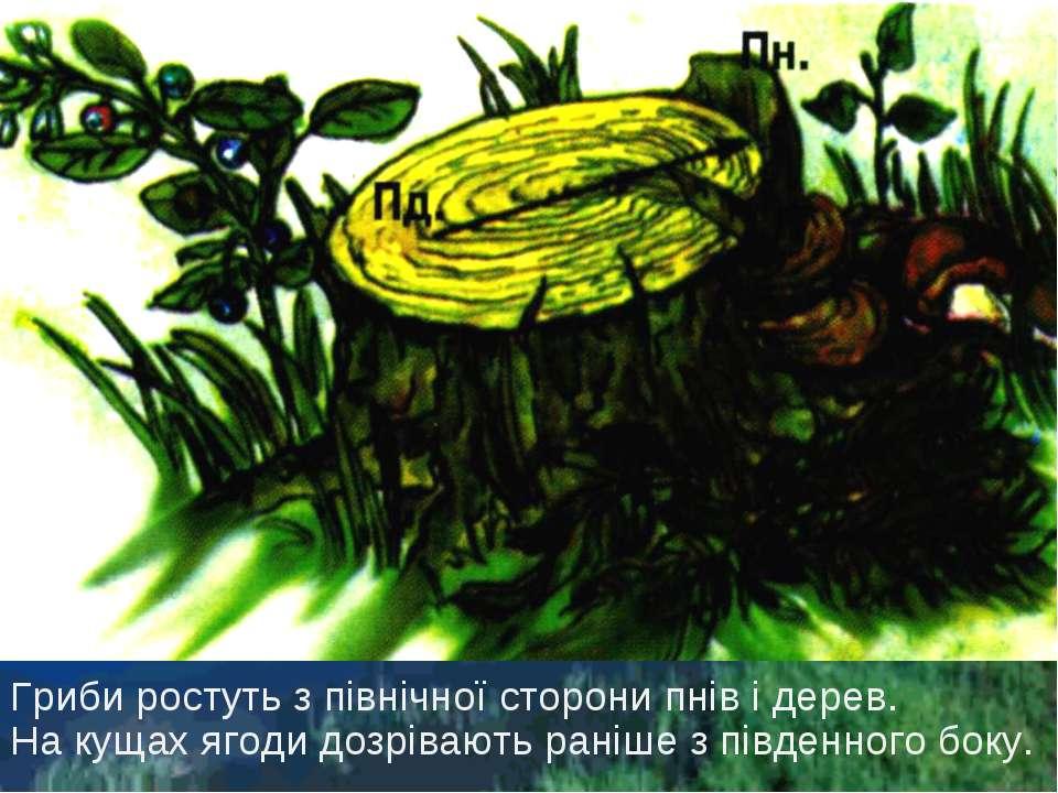 Гриби ростуть з північної сторони пнів і дерев. На кущах ягоди дозрівають ран...