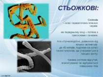 Cestoda – клас паразитичних пласких червів; на передньому кінці – голівка з п...