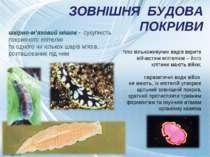 ЗОВНІШНЯ БУДОВА ПОКРИВИ тіло вільноживучих видів вкрите війчастим епітелієм –...