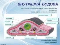 ВНУТРІШНЯ БУДОВА поперечний розріз тіла планарії тіло складається з трьох шар...