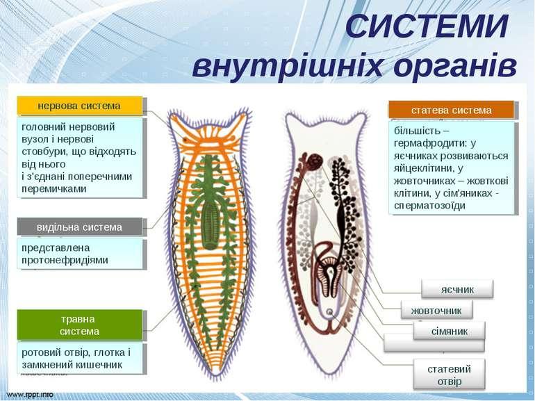 СИСТЕМИ внутрішніх органів нервова система головний нервовий вузол і нервові ...