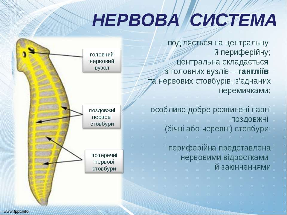 НЕРВОВА СИСТЕМА поділяється на центральну й периферійну; центральна складаєть...