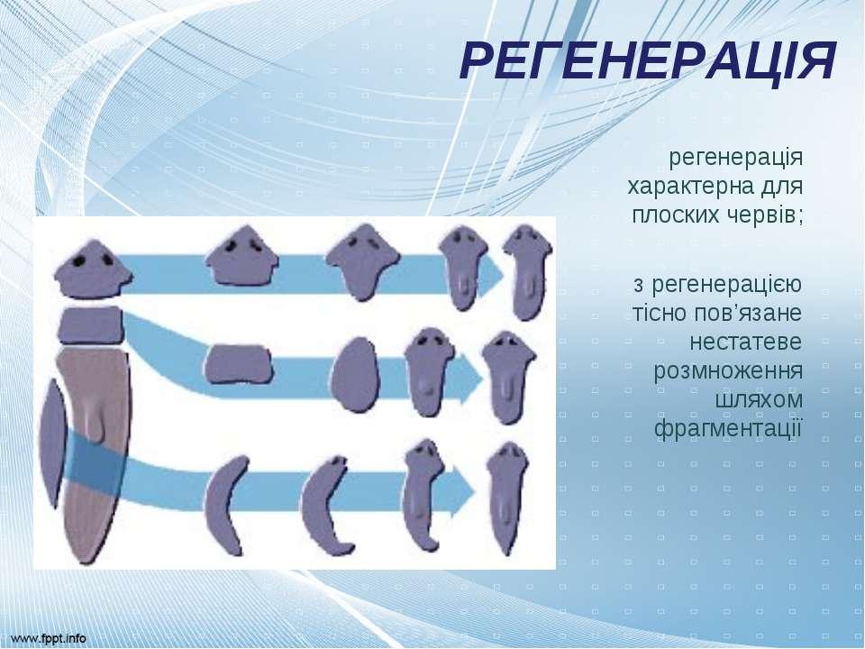 РЕГЕНЕРАЦІЯ регенерація характерна для плоских червів; з регенерацією тісно п...