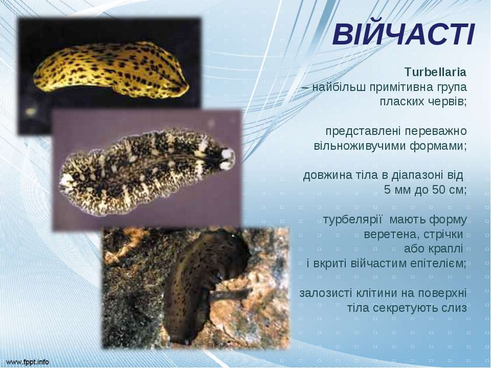 ВІЙЧАСТІ Turbellaria – найбільш примітивна група пласких червів; представлені...