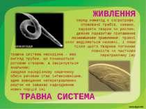 травна система наскрізна - має вигляд трубки, що починається ротовим отвором,...