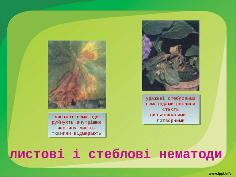 листові і стеблові нематоди листові нематоди руйнують внутрішню частину листа...