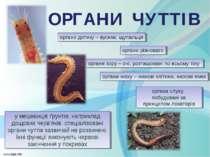 ОРГАНИ ЧУТТІВ органи дотику – вусики, щупальця органи нюху – нюхові клітини, ...