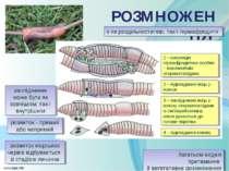 розвиток морських червів відбувається зі стадією личинки РОЗМНОЖЕННЯ заплідне...