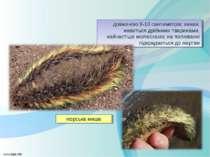 довжиною 8-10 сантиметрів; хижак, живиться дрібними тваринами, найчастіше мол...