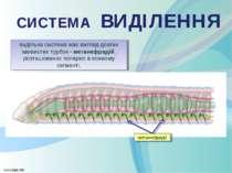 видільна система має вигляд довгих звивистих трубок - метанефридій, розташова...