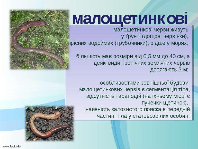 малощетинкові черви живуть у ґрунті (дощові черв'яки), прісних водоймах (труб...