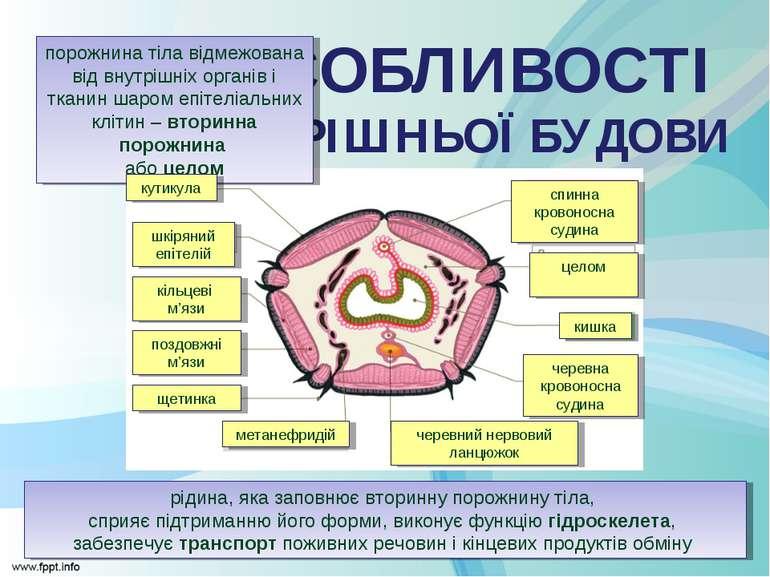 ОСОБЛИВОСТІ ВНУТРІШНЬОЇ БУДОВИ порожнина тіла відмежована від внутрішніх орга...