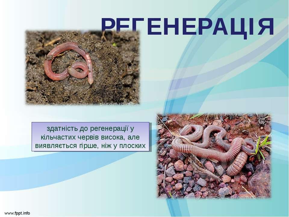 здатність до регенерації у кільчастих червів висока, але виявляється гірше, н...