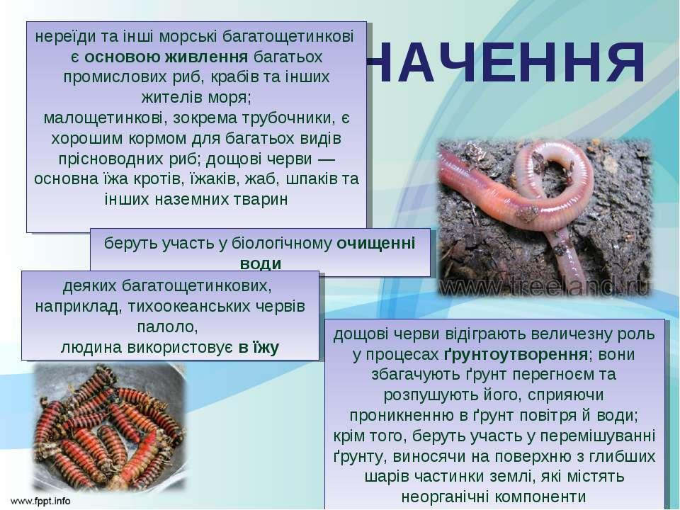 ЗНАЧЕННЯ нереїди та інші морські багатощетинкові є основою живлення багатьох ...