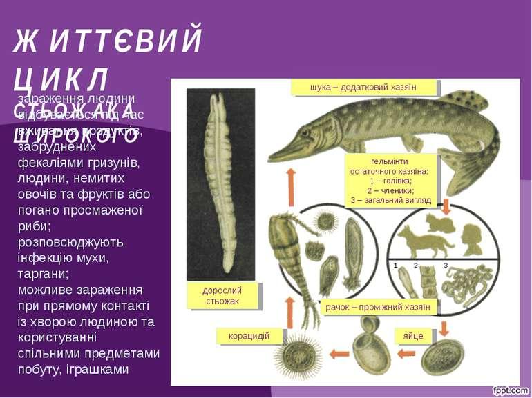 ЖИТТЄВИЙ ЦИКЛ СТЬОЖАКА ШИРОКОГО щука – додатковий хазяїн гельмінти остаточног...
