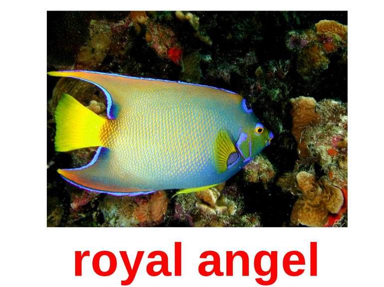 royal angel