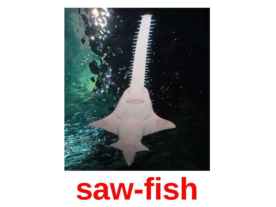 saw-fish