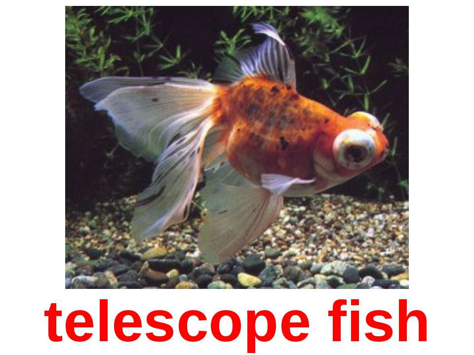 telescope fish