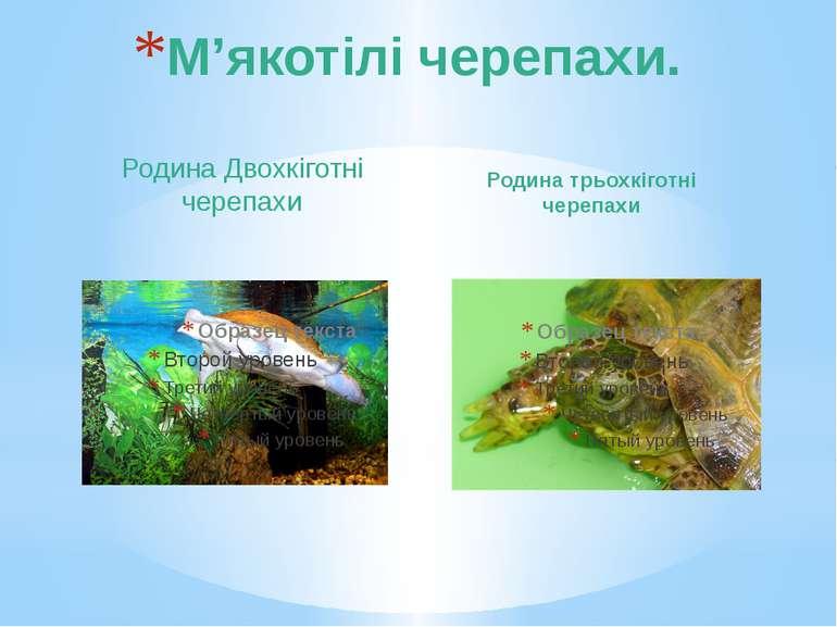 Родина Двохкіготні черепахи Родина трьохкіготні черепахи М'якотілі черепахи.
