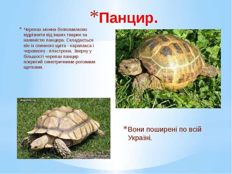 Панцир. Черепах можна безпомилково відрізнити від інших тварин за наявністю п...