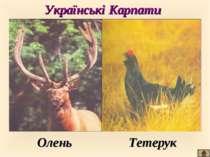 Українські Карпати Олень Тетерук